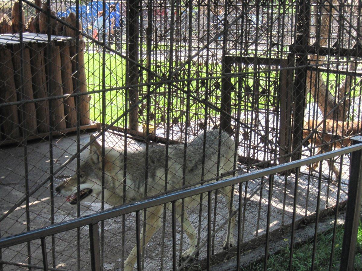 В барнаульком зоопарке волк покусал ребенка