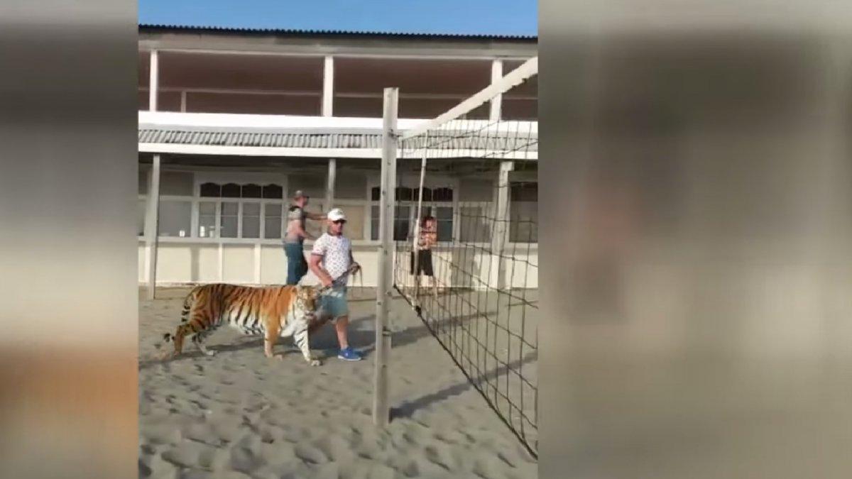 В Находке на многолюдном пляже выгуливали тигра