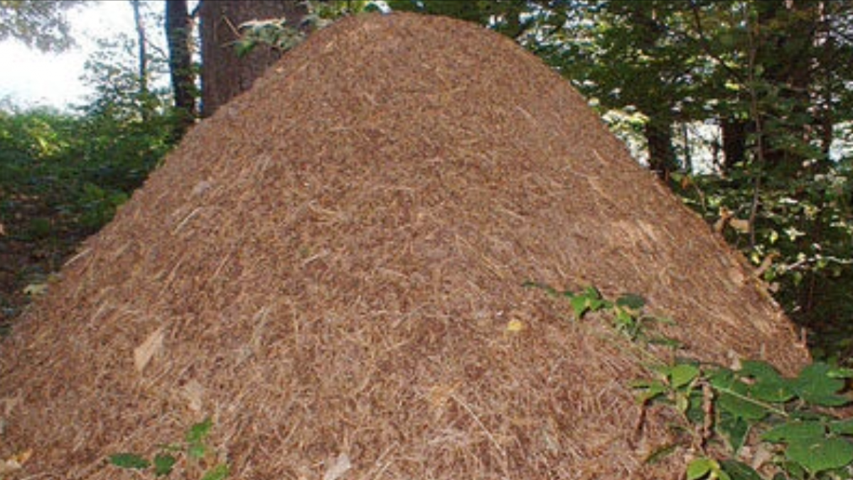 Муравейник - гигант обнаружен в лесу Подмосковья