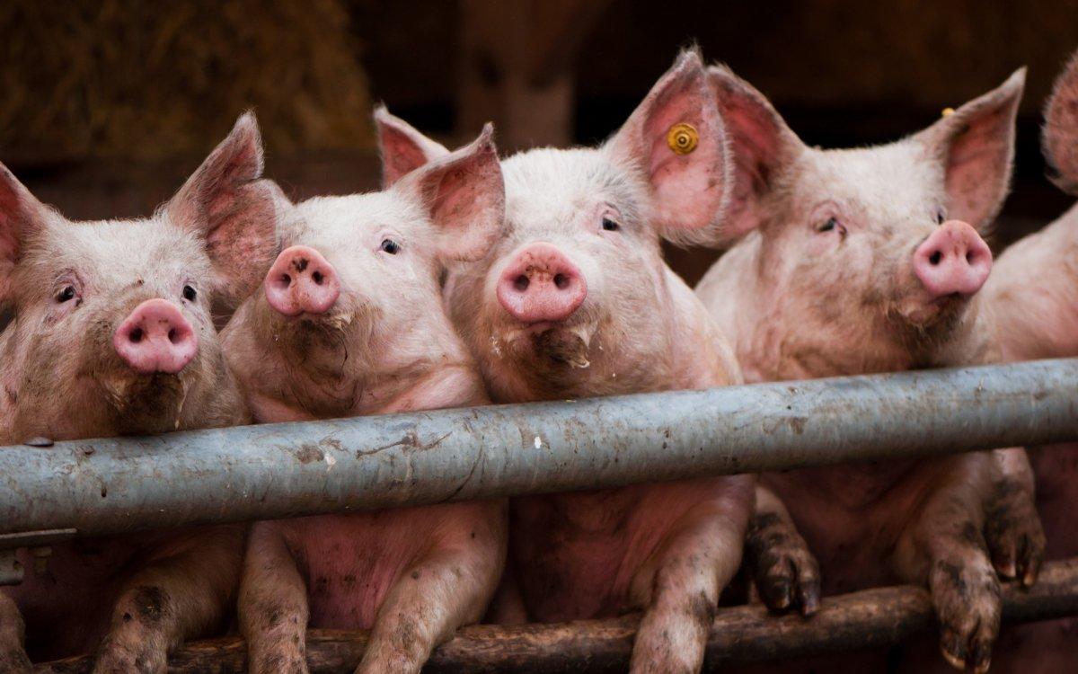 В Чехию впервые пришла африканская чума свиней