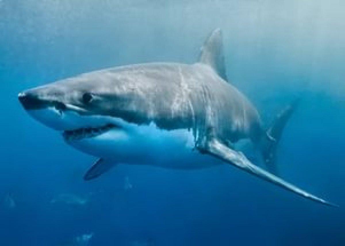 Олимпийский чемпион Майкл Фелпс проиграл белой акуле
