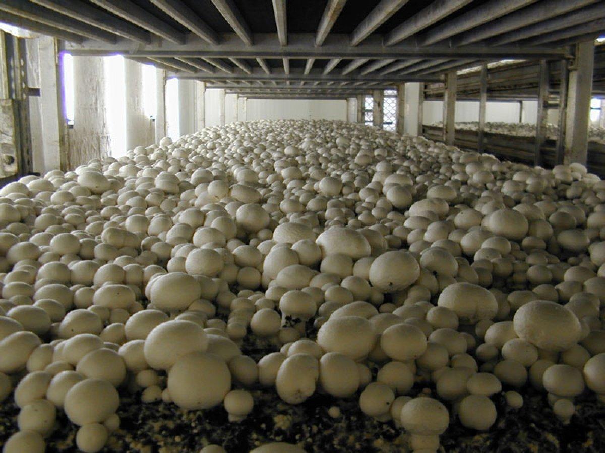 Минсельхоз сделал ставку на грибы