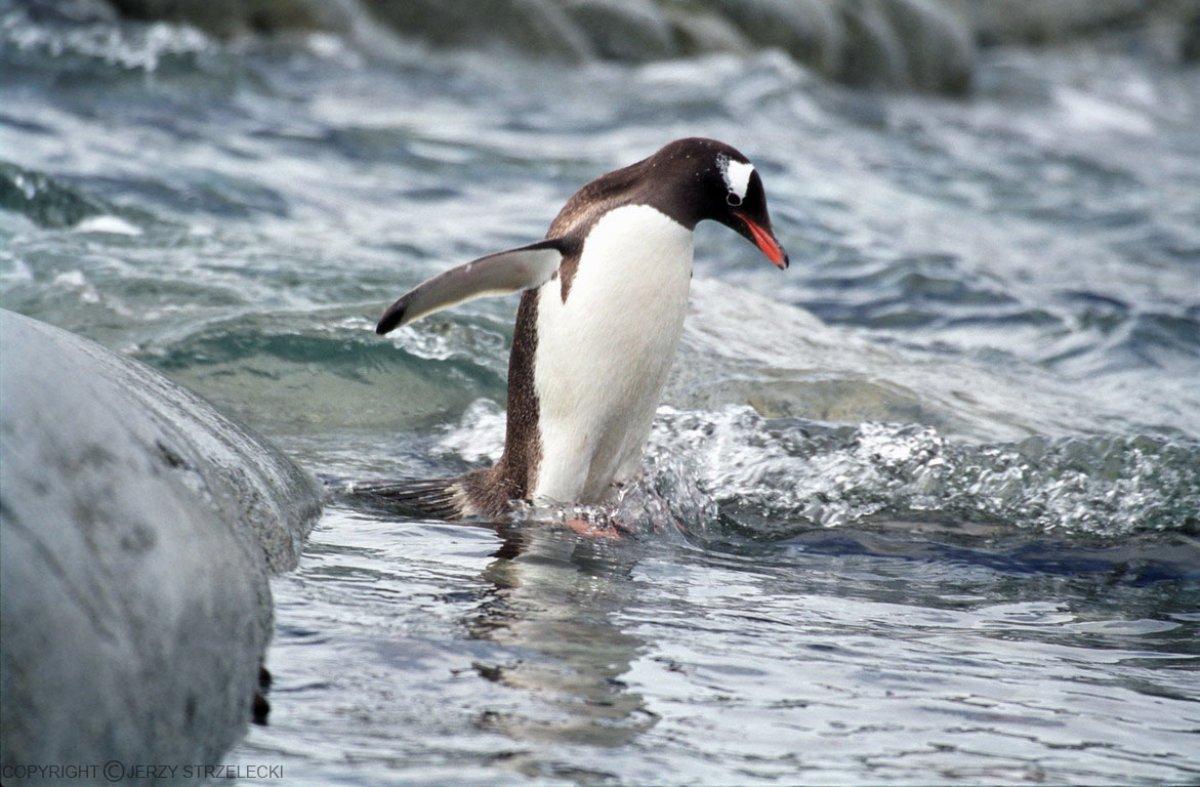 В Московском зоопарке появились папуанские пингвины