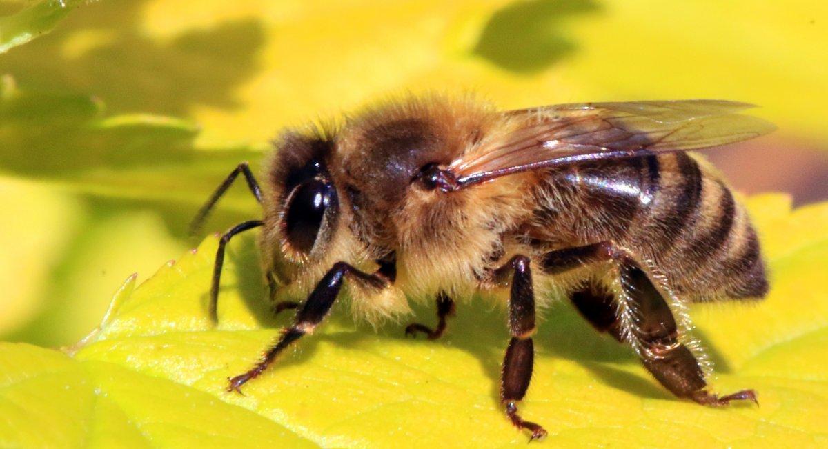 Дронов-пчел планируют создать в США