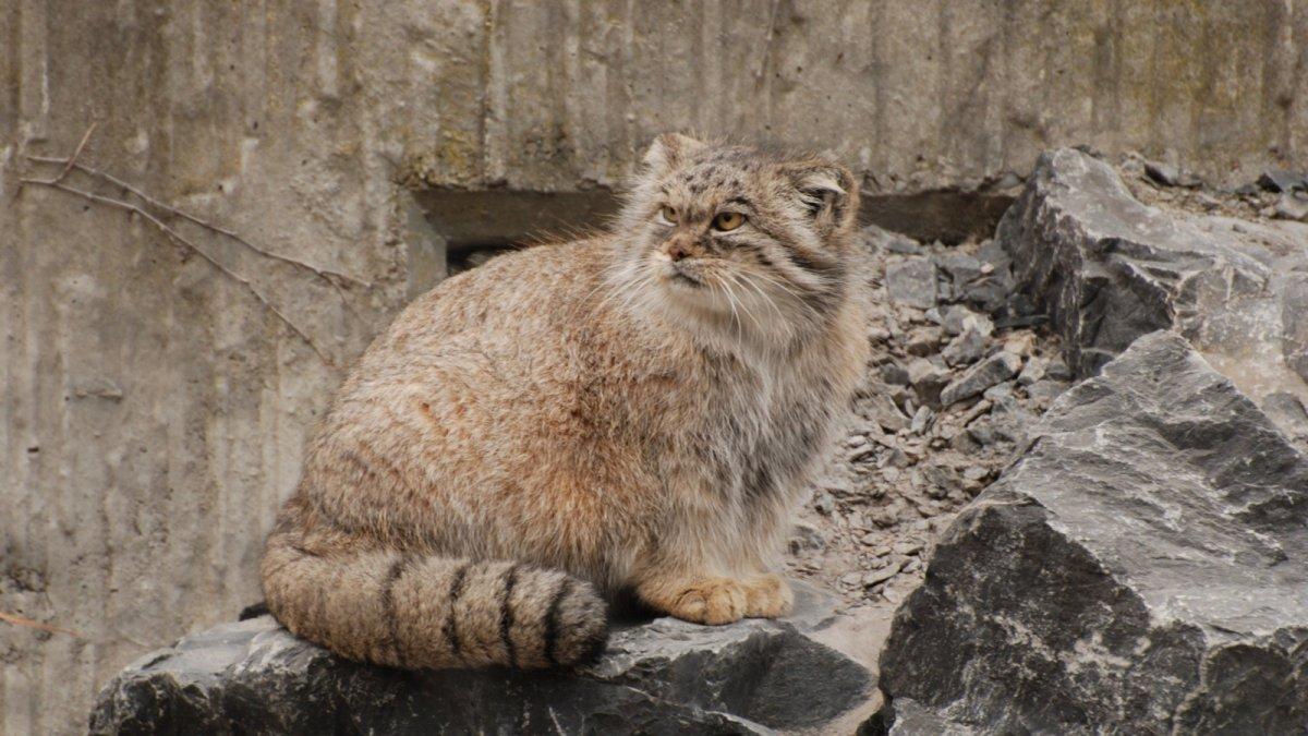 Манул в столичном зоопарке выражает свое недоверие к наступившей весне