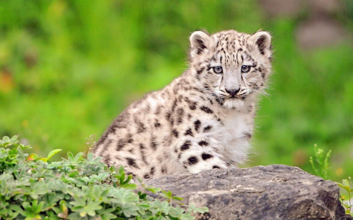 В Пермском зоопарке у снежных барсов родились котята
