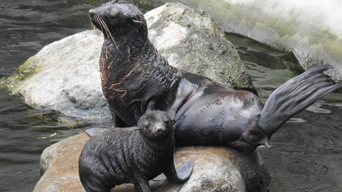 В Московском зоопарке впервые за 20 лет родился морской котик