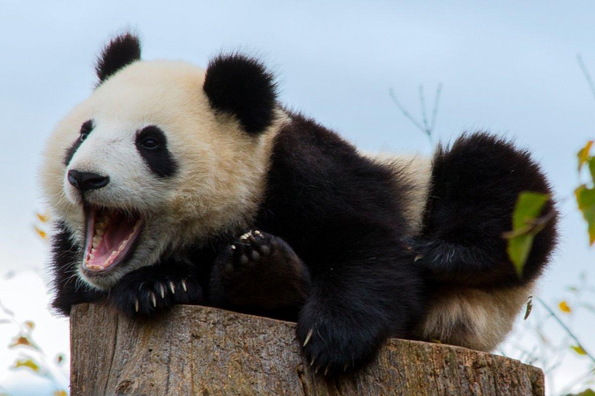 Панды снова в столичном зоопарке — спустя 60 лет