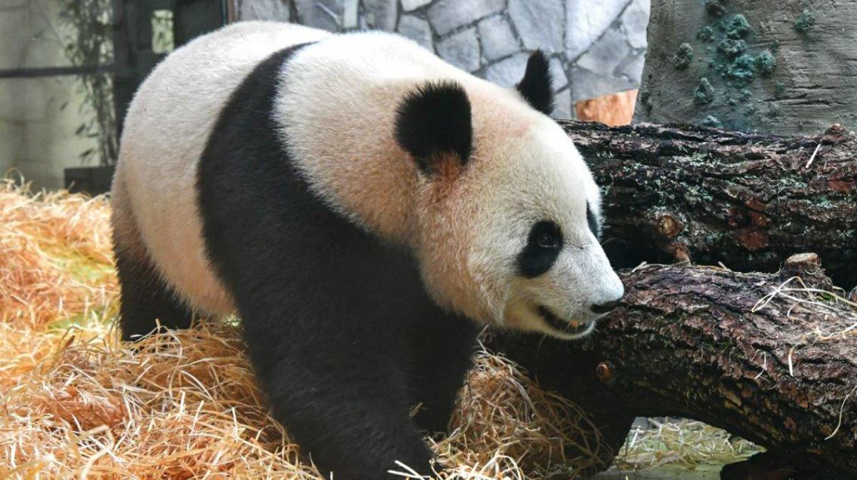 В Московском зоопарке уже можно увидеть панд