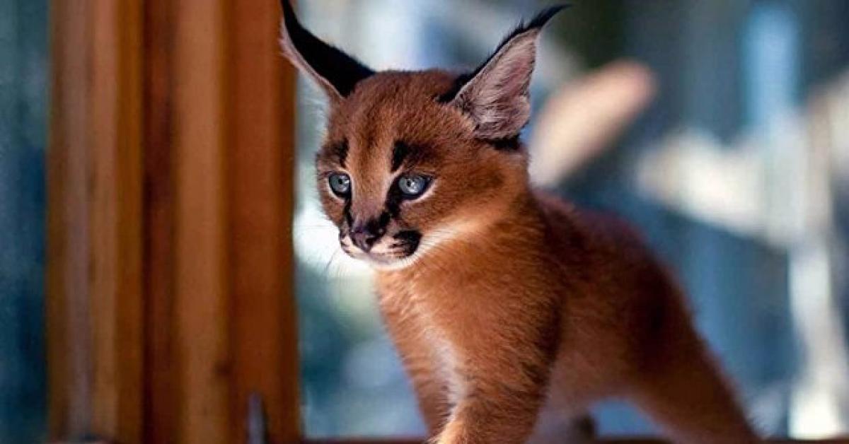В новосибирском зоопарке кошки выкормили детенышей сервала и каракала